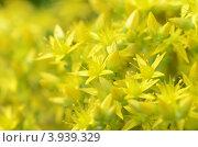 Жёлтый фон из цветов. Стоковое фото, фотограф Александра / Фотобанк Лори