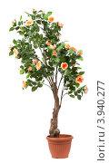 Купить «Большое дерево с цветами в горшке», фото № 3940277, снято 8 ноября 2011 г. (c) Tatjana Romanova / Фотобанк Лори