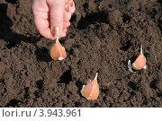 Купить «Посадка чеснока», эксклюзивное фото № 3943961, снято 14 октября 2012 г. (c) Юрий Морозов / Фотобанк Лори