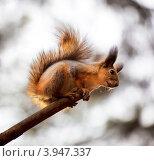Купить «Любопытная белка», фото № 3947337, снято 20 октября 2012 г. (c) Наталья Волкова / Фотобанк Лори