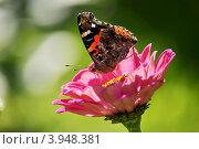 Бабочка Адмирал (Vanessa atalanta) на цветке циннии. Стоковое фото, фотограф Елена Семистенова / Фотобанк Лори
