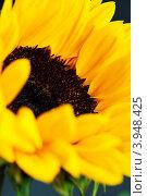 Купить «Цветок подсолнечника», фото № 3948425, снято 2 августа 2012 г. (c) Наталия Кленова / Фотобанк Лори