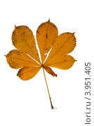 Купить «Желтый лист каштана», фото № 3951405, снято 19 января 2019 г. (c) Александр Федоренко / Фотобанк Лори