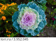 Цветная капуста. Стоковое фото, фотограф Сажнев Виктор / Фотобанк Лори