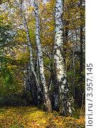 Купить «Берёзы в осеннем лесу», фото № 3957145, снято 21 октября 2012 г. (c) Сергей Трофименко / Фотобанк Лори