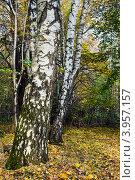 Купить «Стволы берёз на фоне осеннего леса», фото № 3957157, снято 21 октября 2012 г. (c) Сергей Трофименко / Фотобанк Лори