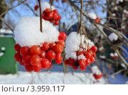 Калина в снегу. Стоковое фото, фотограф Марина К. / Фотобанк Лори