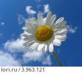 Купить «Нивяник обыкновенный, или Ромашка луговая (L. vulgare Lam)», эксклюзивное фото № 3963121, снято 18 июля 2012 г. (c) lana1501 / Фотобанк Лори