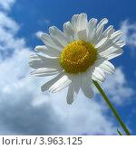 Купить «Нивяник обыкновенный, или Ромашка луговая (L. vulgare Lam)», эксклюзивное фото № 3963125, снято 18 июля 2012 г. (c) lana1501 / Фотобанк Лори