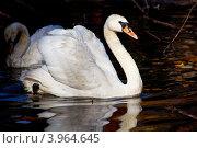 Лебедь. Стоковое фото, фотограф Инна Шишова / Фотобанк Лори
