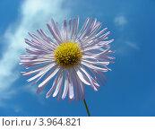 Купить «Астра ромашковидная (Aster amelloides ) на фоне голубого неба», эксклюзивное фото № 3964821, снято 14 июля 2012 г. (c) lana1501 / Фотобанк Лори