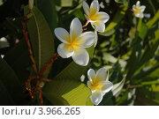 Цветущая плюмерия, белый цветок с желтой сердцевиной. Стоковое фото, фотограф Бугаенко Татьяна / Фотобанк Лори