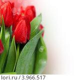 Купить «Красные тюльпаны в каплях воды», фото № 3966517, снято 18 февраля 2012 г. (c) Наталия Кленова / Фотобанк Лори