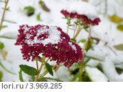 Купить «Очиток видный, или седум замечательный (Sedum spectabile). Первый снег», эксклюзивное фото № 3969285, снято 27 октября 2012 г. (c) Александр Щепин / Фотобанк Лори