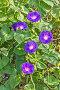 Яркие цветки ипомеи, фото № 3970305, снято 6 сентября 2012 г. (c) Владимир Сергеев / Фотобанк Лори