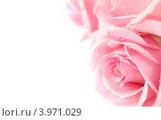 Купить «Розовые розы с каплями воды», фото № 3971029, снято 12 марта 2009 г. (c) Иван Михайлов / Фотобанк Лори