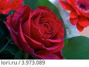 Красивая красная роза. Стоковое фото, фотограф Роберт Ивайсюк / Фотобанк Лори