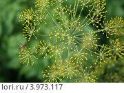 Укроп цветет. Стоковое фото, фотограф Екатерина Рыбникова / Фотобанк Лори