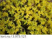 Цветущий мох. Стоковое фото, фотограф Екатерина Рыбникова / Фотобанк Лори