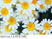 Ромашки. Стоковое фото, фотограф Денис Демков / Фотобанк Лори