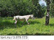 Купить «Белая лошадь в Гефсиманском саду, Ново-Иерусалимский монастырь. Город Истра, Московская область», эксклюзивное фото № 3979173, снято 20 июня 2012 г. (c) lana1501 / Фотобанк Лори