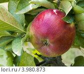 Купить «Красное яблоко сорта Ред Делишес на ветке», фото № 3980873, снято 1 сентября 2012 г. (c) Ирина Кожемякина / Фотобанк Лори