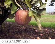 Купить «Красное яблоко сорта Эмпайер (Empire) на ветке», фото № 3981025, снято 1 сентября 2012 г. (c) Ирина Кожемякина / Фотобанк Лори