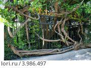 Гибкое дерево. Стоковое фото, фотограф Ольга Ларина / Фотобанк Лори