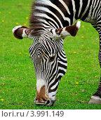Зебра крупным планом на фоне ярко-зеленой травы. Стоковое фото, фотограф Дмитрий Краснов / Фотобанк Лори