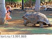 Купить «Маврикий. Гигантские черепахи и человек.», эксклюзивное фото № 3991869, снято 13 октября 2012 г. (c) Александр Тарасенков / Фотобанк Лори