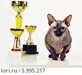 Кошка с наградами. Стоковое фото, фотограф Кульпина Евгения / Фотобанк Лори
