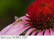 Оса на розовом цветке эхинацеи. Стоковое фото, фотограф Aleksandrs Jemeļjanovs / Фотобанк Лори