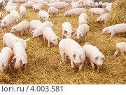 Поросята на свиноферме. Стоковое фото, фотограф Дмитрий Калиновский / Фотобанк Лори