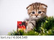 Породистый шотландский вислоухий котенок тигрового окраса. Стоковое фото, фотограф Мария Егунева / Фотобанк Лори