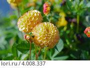 Садовый цветок георгин. Стоковое фото, фотограф Алексей Алексеев / Фотобанк Лори