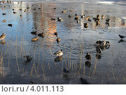 Утки на пруду. Стоковое фото, фотограф Анна Степанова / Фотобанк Лори