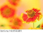 Оранжевый цветок крупным планом на цветном фоне. Стоковое фото, фотограф kiyanochka / Фотобанк Лори