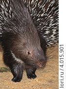 Купить «Дикобраз в естественной среде обитания», фото № 4015901, снято 9 апреля 2012 г. (c) Эдуард Кислинский / Фотобанк Лори