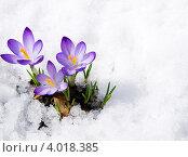 Купить «Крокусы на снегу», фото № 4018385, снято 11 апреля 2012 г. (c) Ирина Волкова / Фотобанк Лори
