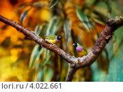 Экзотические птицы, амадины. Стоковое фото, фотограф Анна Макеичева / Фотобанк Лори