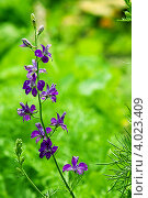 Полевой цветок. Стоковое фото, фотограф Даниил Безуглов / Фотобанк Лори