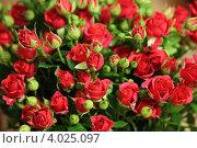 Маленькие красные розы. Стоковое фото, фотограф Межерицкая Юлия Сергеевна / Фотобанк Лори