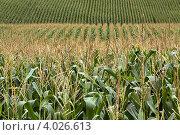Кукурузное поле. Стоковое фото, фотограф NataMint / Фотобанк Лори