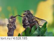 Купить «Слепень уставший», фото № 4028185, снято 27 июля 2011 г. (c) Забалуев Игорь Анатолич / Фотобанк Лори