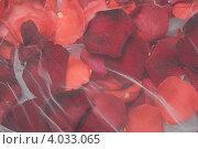Купить «Фон из лепестков алых роз под вуалью», фото № 4033065, снято 19 ноября 2012 г. (c) Екатерина Панфилова / Фотобанк Лори