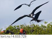 Купить «Птица фрегат в полёте», фото № 4033729, снято 7 ноября 2012 г. (c) Борис Ветшев / Фотобанк Лори