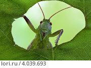На фотографа смотрит маленький зелёный кузнечик через дырку в листке орешника, прогрызенную гусеницей бабочки крапивницы. Стоковое фото, фотограф Забалуев Игорь Анатолич / Фотобанк Лори