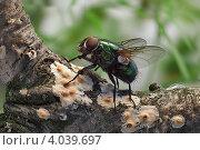 Жирная муха зелёная исследует молодую поросль лишайников. Стоковое фото, фотограф Забалуев Игорь Анатолич / Фотобанк Лори