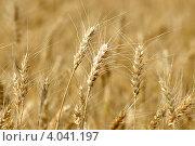 Купить «Пшеница», фото № 4041197, снято 15 июля 2011 г. (c) Игорь Ткачёв / Фотобанк Лори