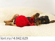 Щенок цвергпинчера играет с клубком. Стоковое фото, фотограф Инна Шевелёва / Фотобанк Лори